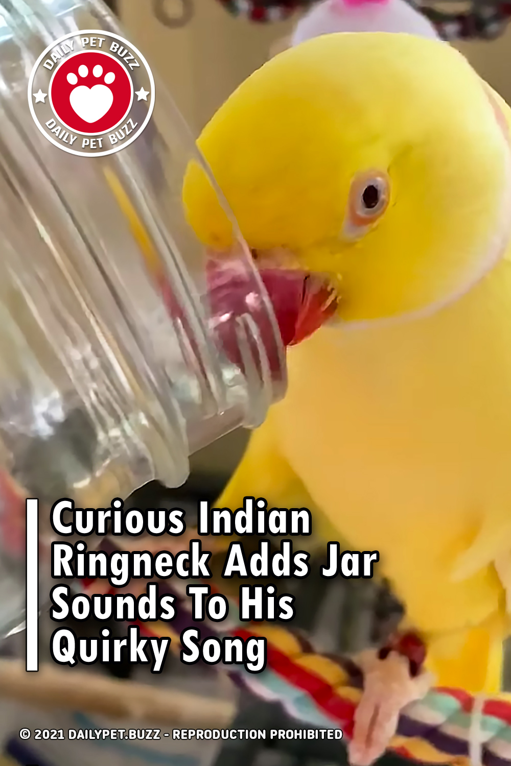 Curious Indian Ringneck Adds Jar Sounds To His Quirky Song