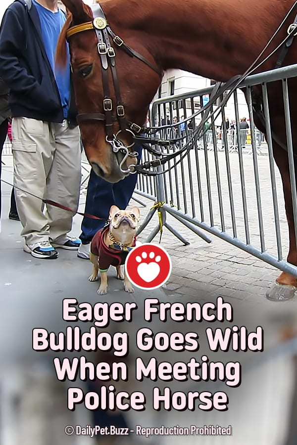 Eager French Bulldog Goes Wild When Meeting Police Horse