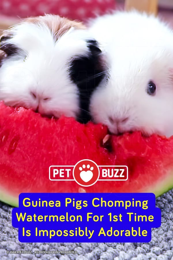 Guinea Pigs Chomping Watermelon For 1st Time Is Impossibly Adorable