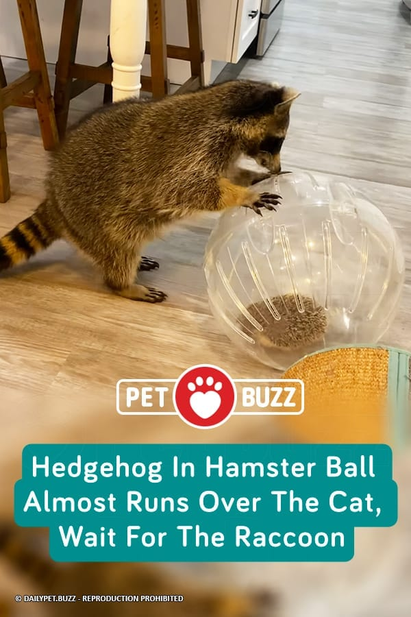 Hedgehog In Hamster Ball Almost Runs Over The Cat, Wait For The Raccoon