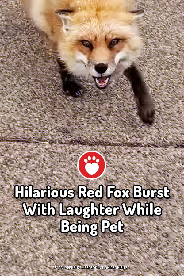Hilarious Red Fox Burst With Laughter While Being Pet