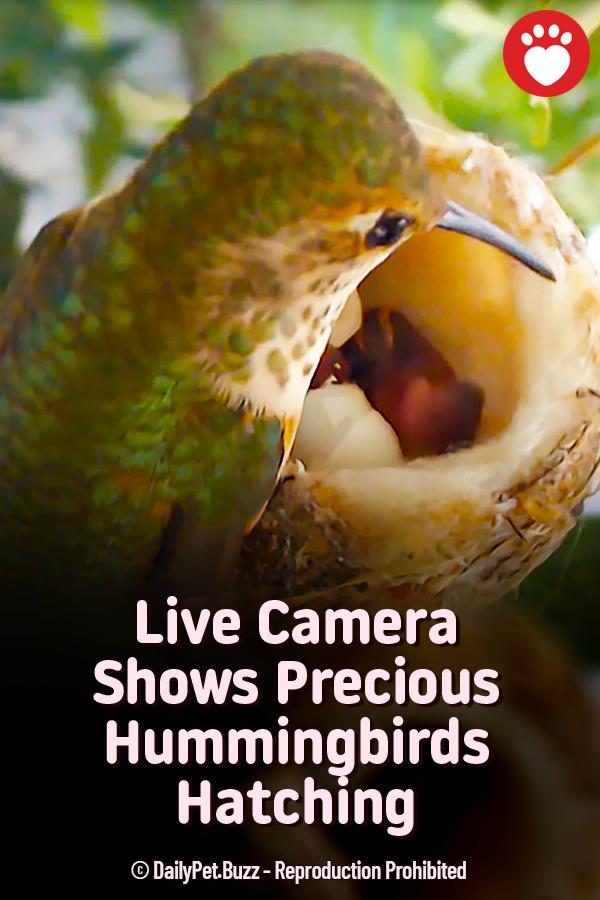 Live Camera Shows Precious Hummingbirds Hatching