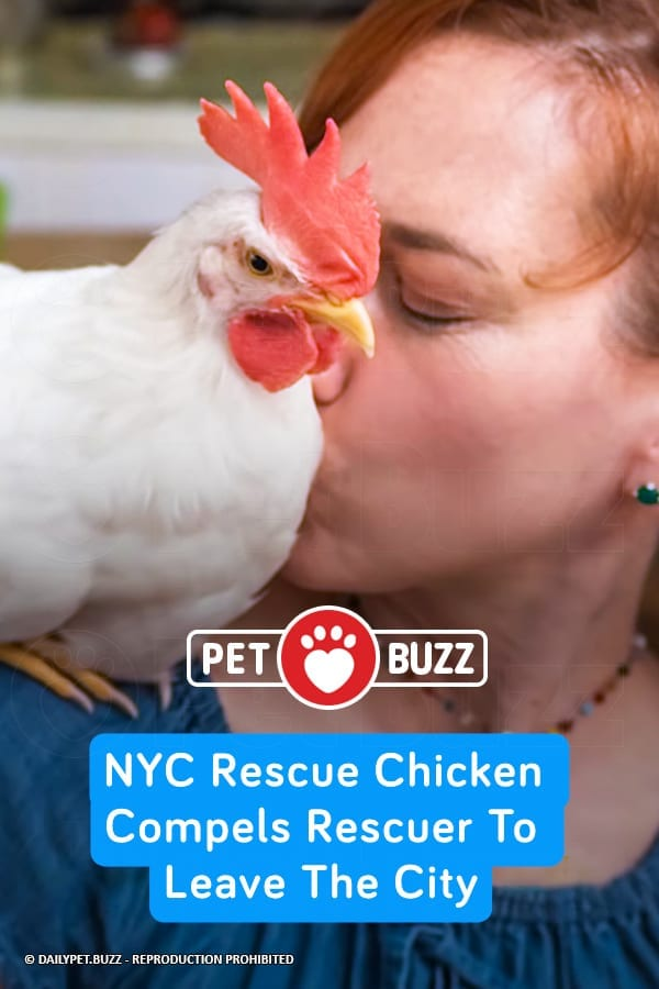 NYC Rescue Chicken Compels Rescuer To Leave The City