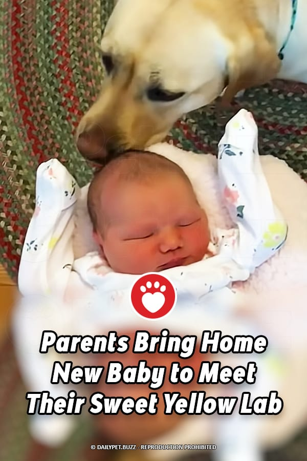 Parents Bring Home New Baby to Meet Their Sweet Yellow Lab
