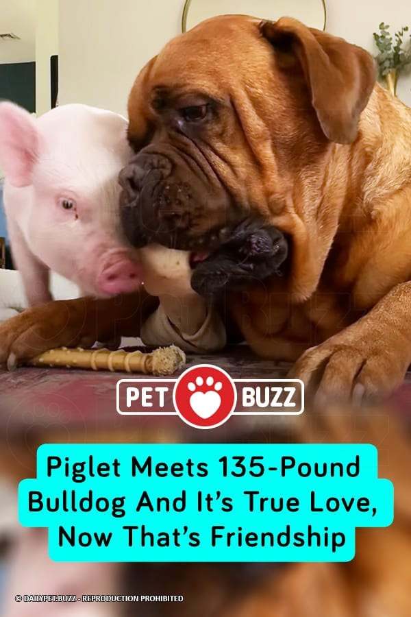 Piglet Meets 135-Pound Bulldog And It's True Love, Now That's Friendship