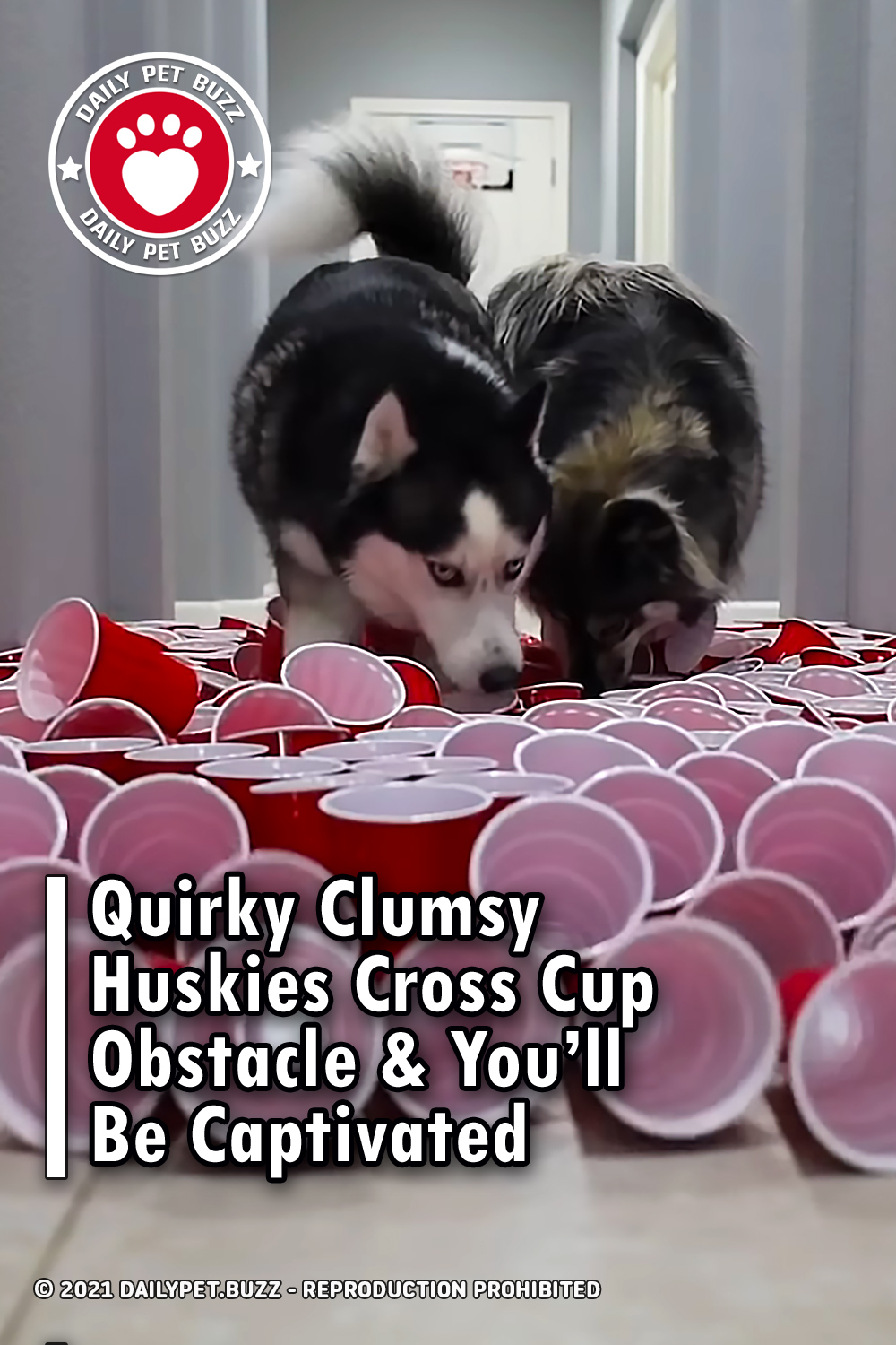 Quirky Clumsy Huskies Cross Cup Obstacle & You'll Be Captivated