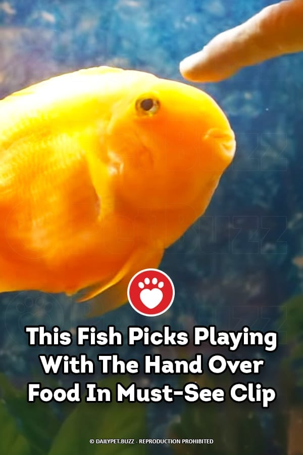 This Fish Picks Playing With The Hand Over Food In Must-See Clip