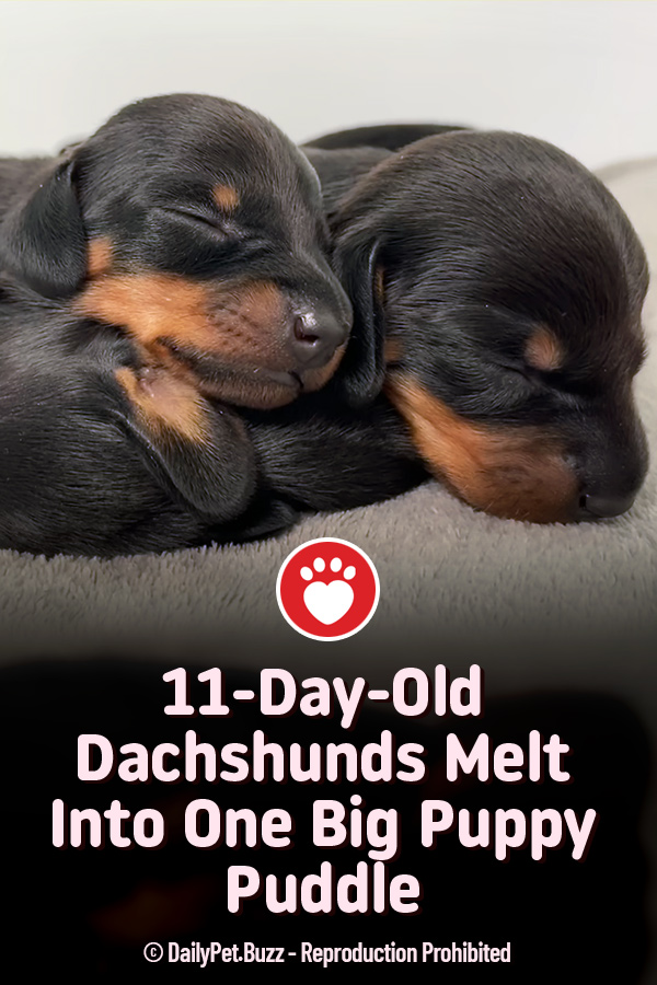 11-Day-Old Dachshunds Melt Into One Big Puppy Puddle