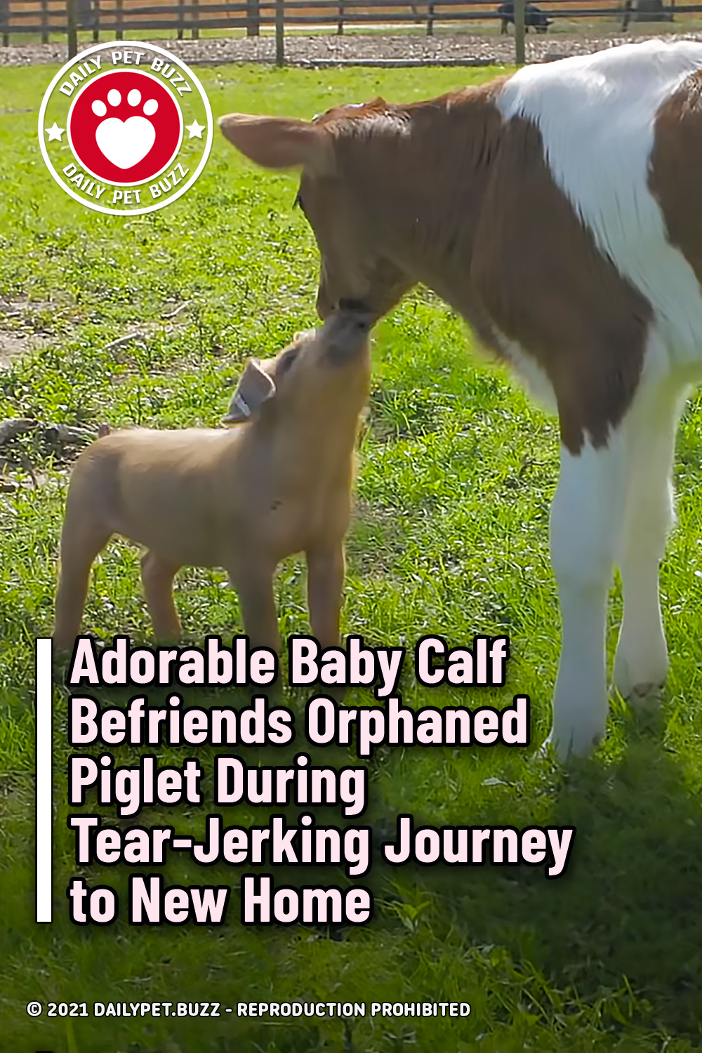 Adorable Baby Calf Befriends Orphaned Piglet During Tear-Jerking Journey to New Home