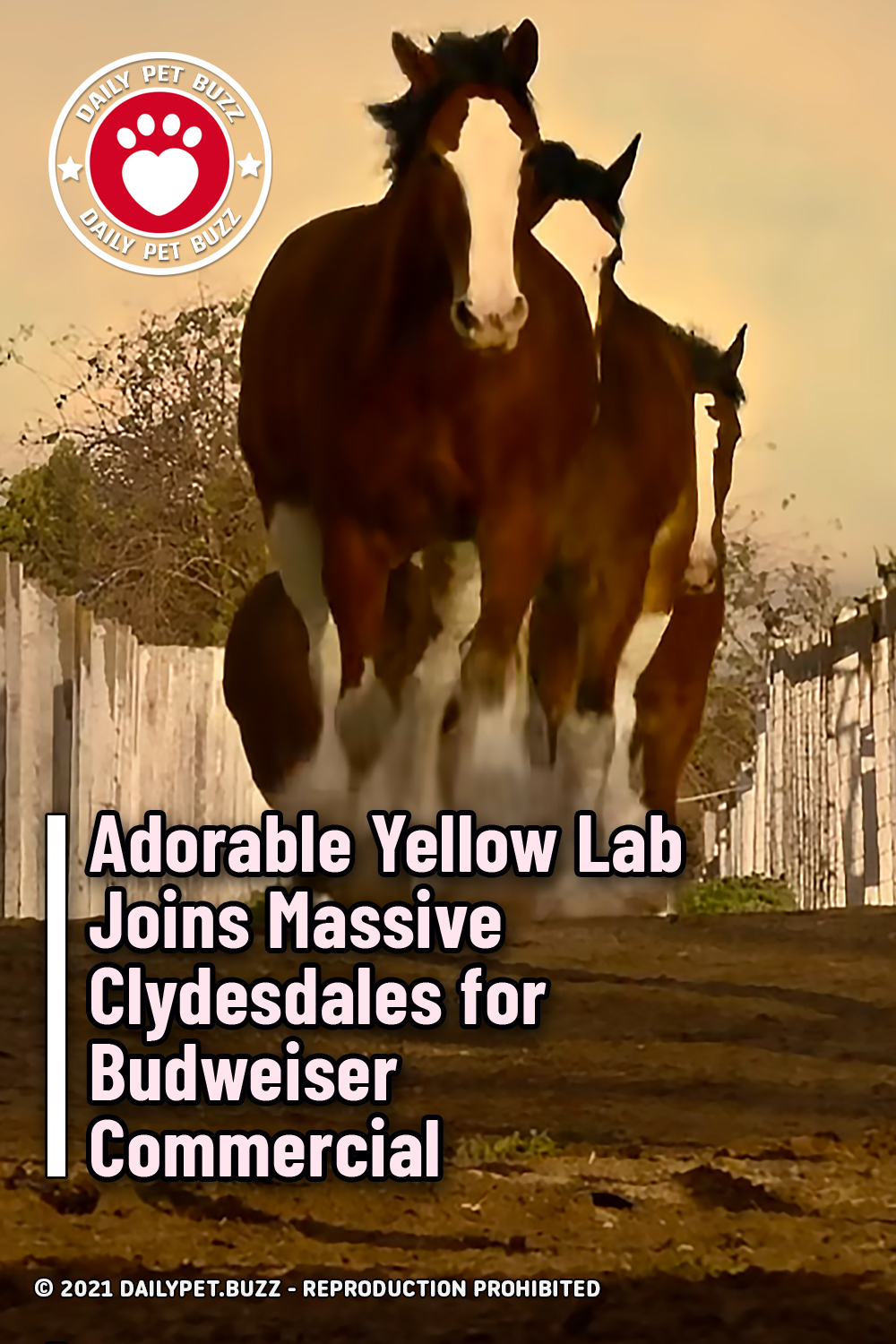 Adorable Yellow Lab Joins Massive Clydesdales for Budweiser Commercial