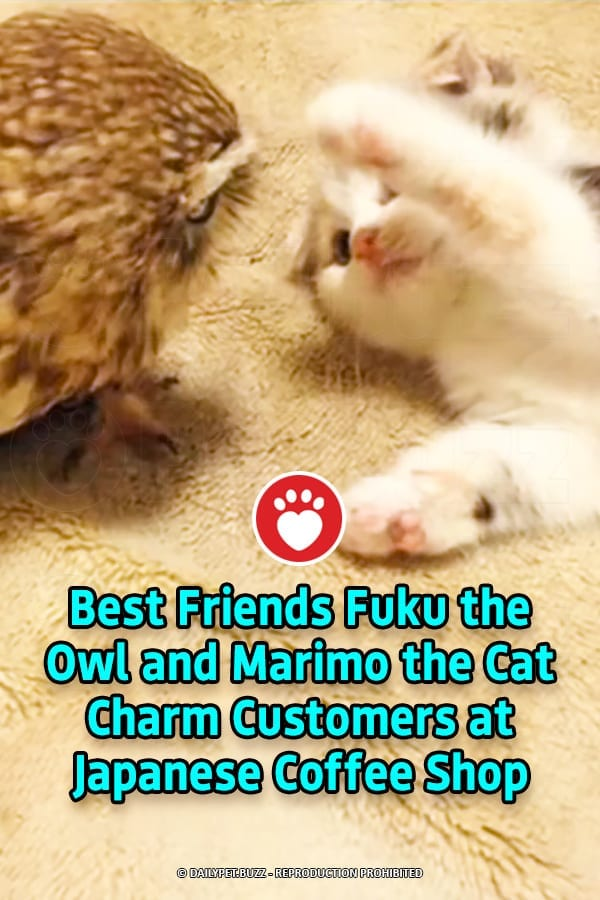 Best Friends Fuku the Owl and Marimo the Cat Charm Customers at Japanese Coffee Shop