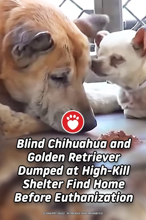 Blind Chihuahua and Golden Retriever Dumped at High-Kill Shelter Find Home Before Euthanization