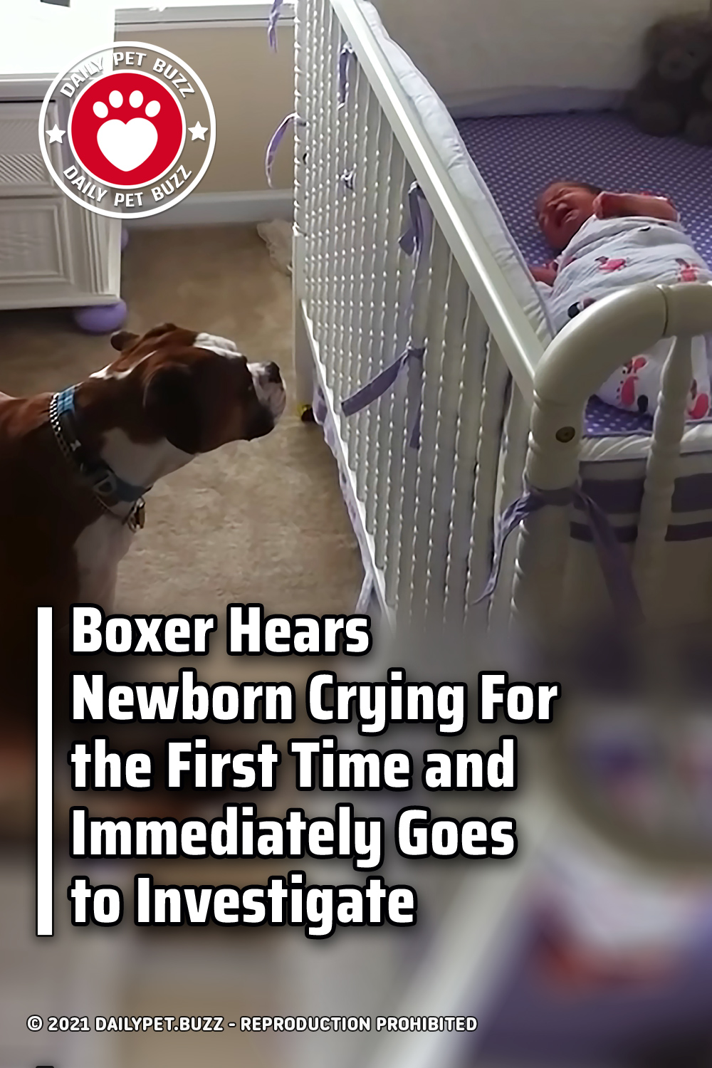 Boxer Hears Newborn Crying For the First Time and Immediately Goes to Investigate