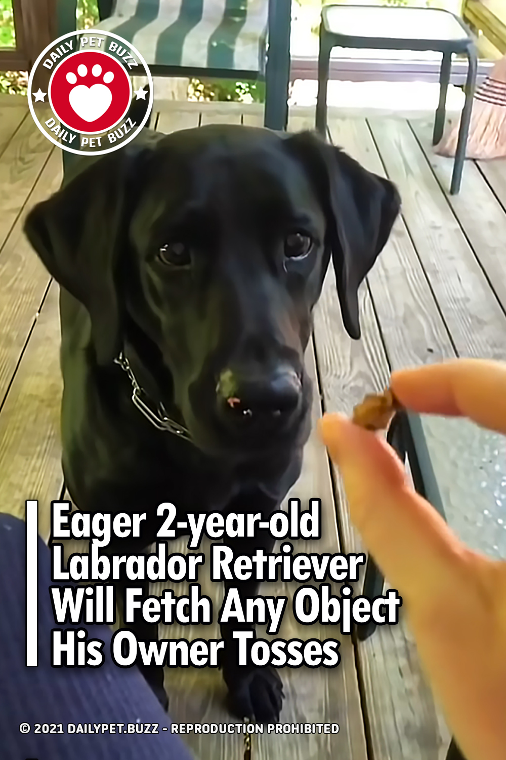 Eager 2-year-old Labrador Retriever Will Fetch Any Object His Owner Tosses