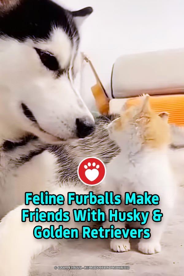 Feline Furballs Make Friends With Husky & Golden Retrievers