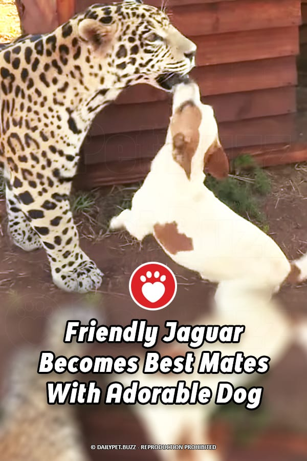 Friendly Jaguar Becomes Best Mates With Adorable Dog