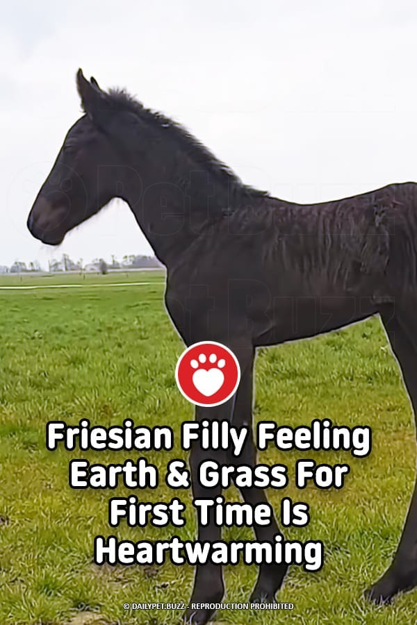 Friesian Filly Feeling Earth & Grass For First Time Is Heartwarming