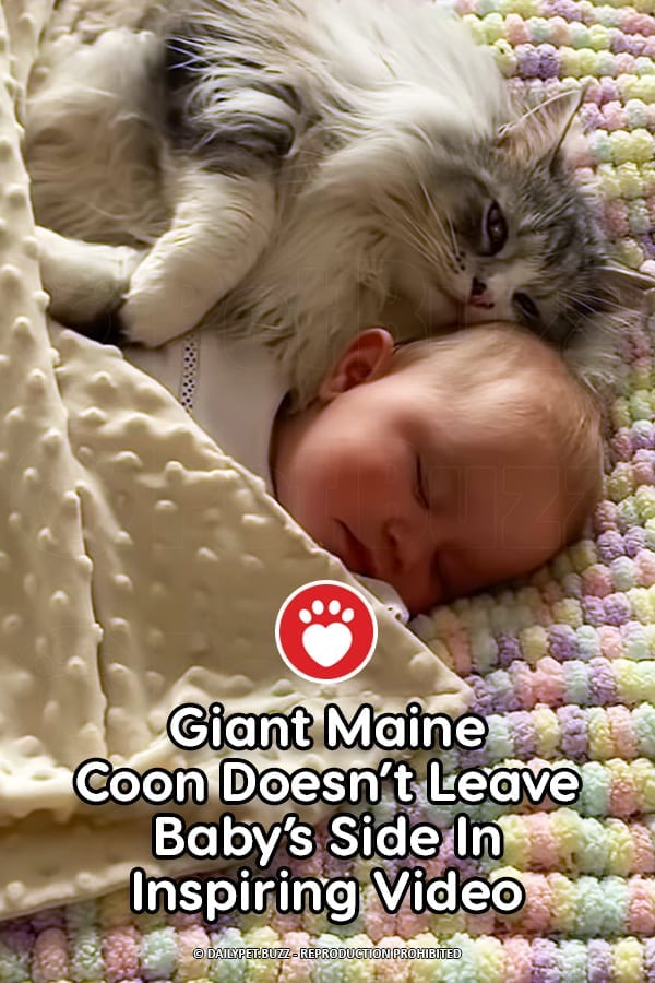 Giant Maine Coon Doesn\'t Leave Baby\'s Side In Inspiring Video