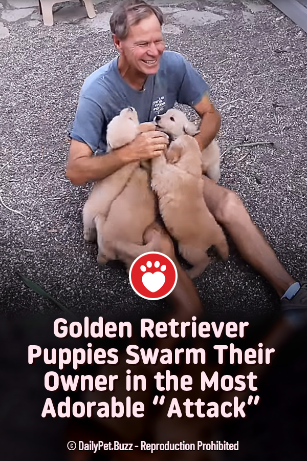 """Golden Retriever Puppies Swarm Their Owner in the Most Adorable """"Attack"""""""