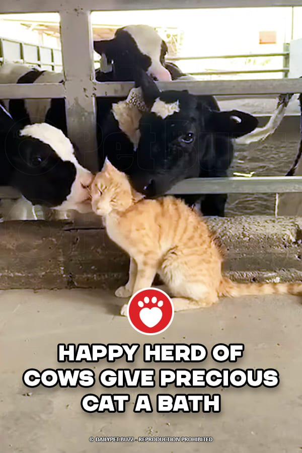 Happy Herd of Cows Give Precious Cat a Bath