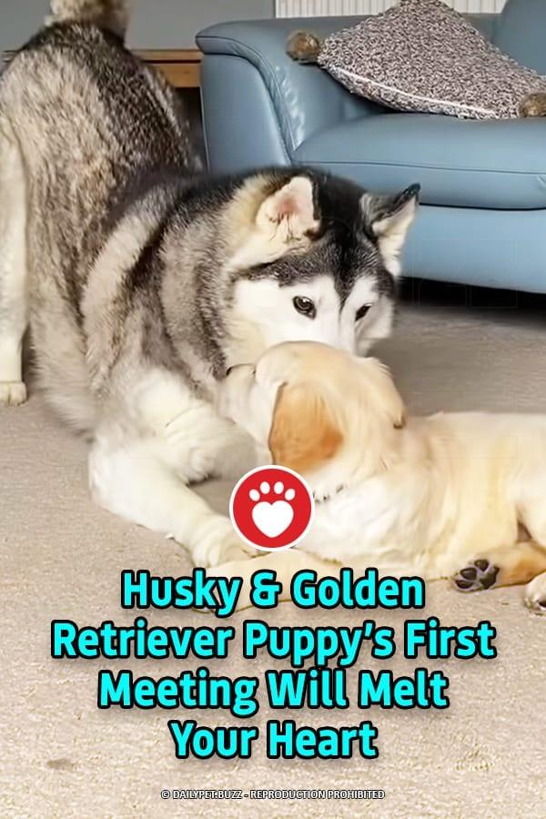 Husky & Golden Retriever Puppy's First Meeting Will Melt Your Heart