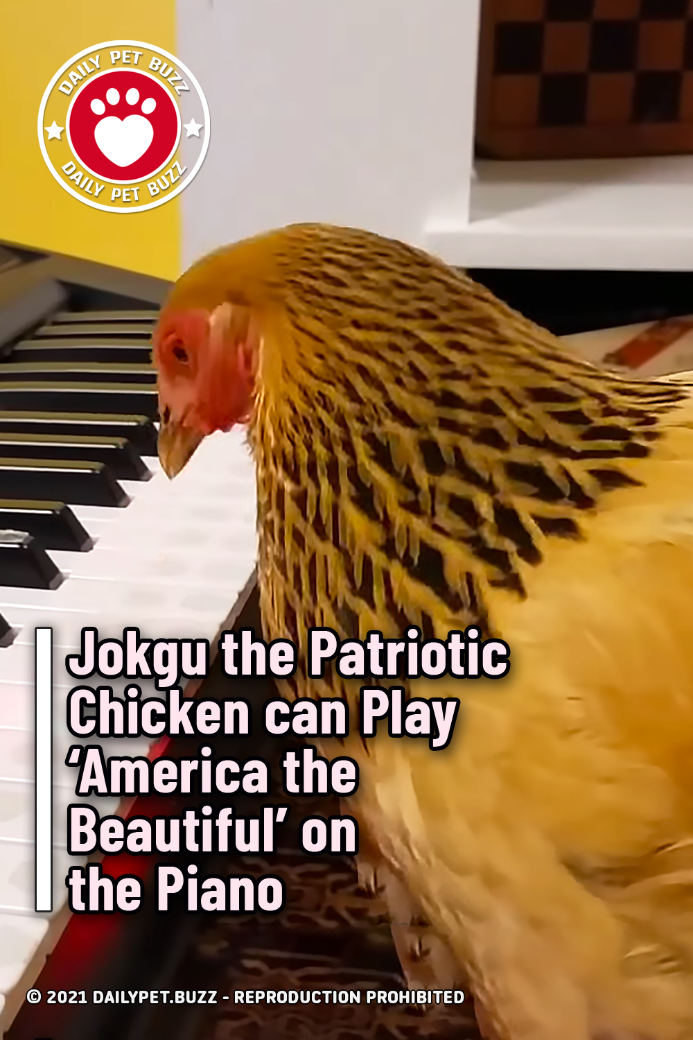 Jokgu the Patriotic Chicken can Play 'America the Beautiful' on the Piano