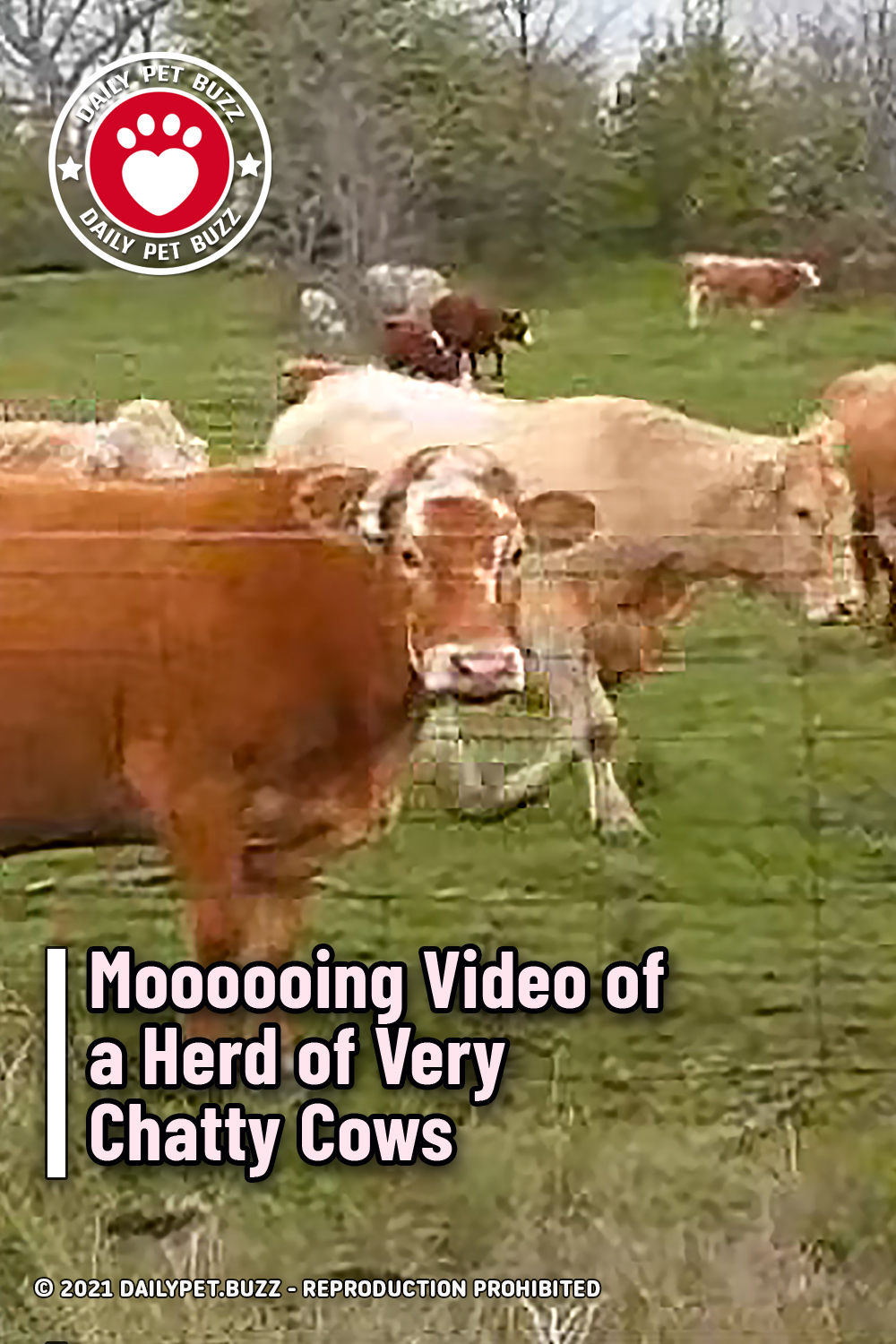 Moooooing Video of a Herd of Very Chatty Cows