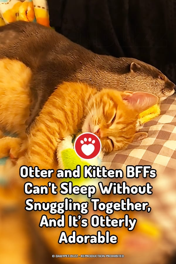Otter and Kitten BFFs Can't Sleep Without Snuggling Together, And It's Otterly Adorable