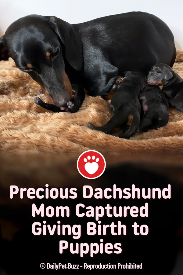 Precious Dachshund Mom Captured Giving Birth to Puppies