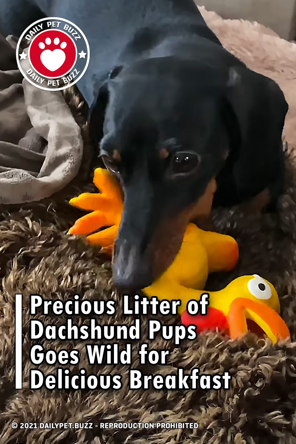 Precious Litter of Dachshund Pups Goes Wild for Delicious Breakfast
