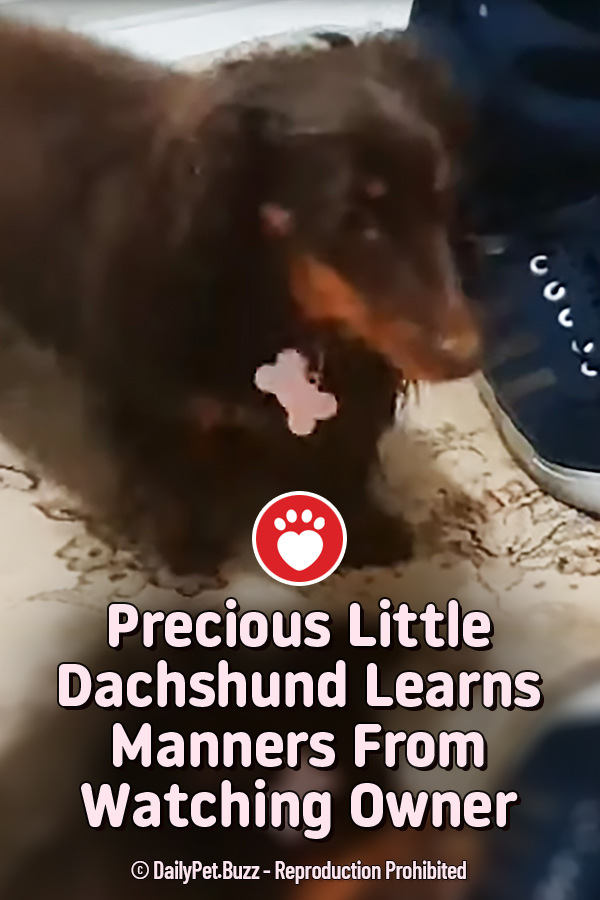 Precious Little Dachshund Learns Manners From Watching Owner