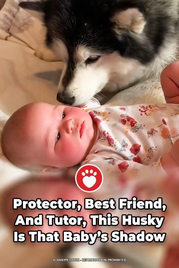 Protector, Best Friend, And Tutor, This Husky Is That Baby\'s Shadow