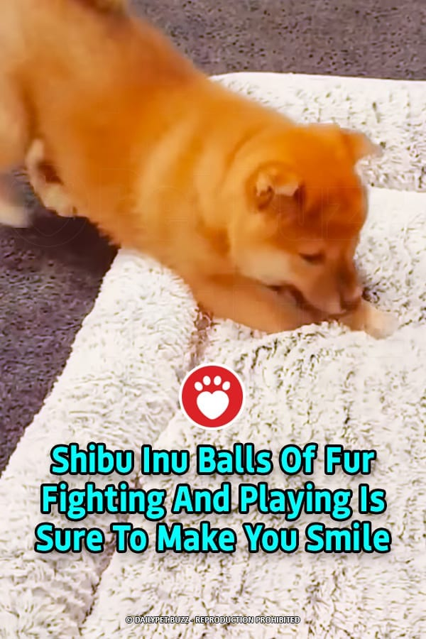 Shibu Inu Balls Of Fur Fighting And Playing Is Sure To Make You Smile