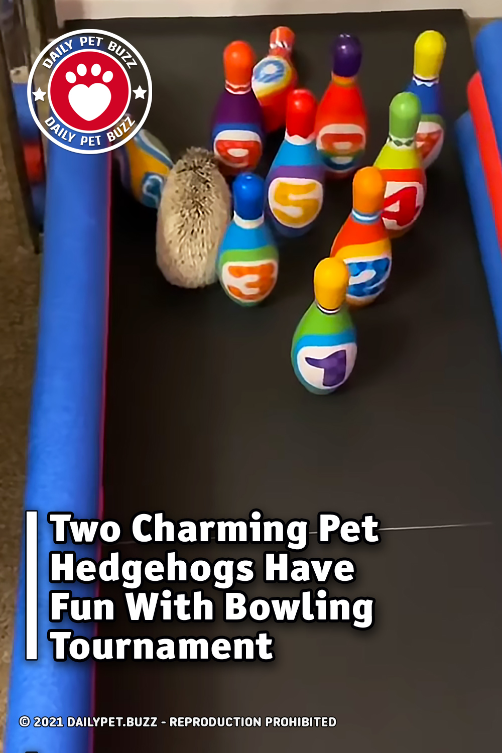 Two Charming Pet Hedgehogs Have Fun With Bowling Tournament