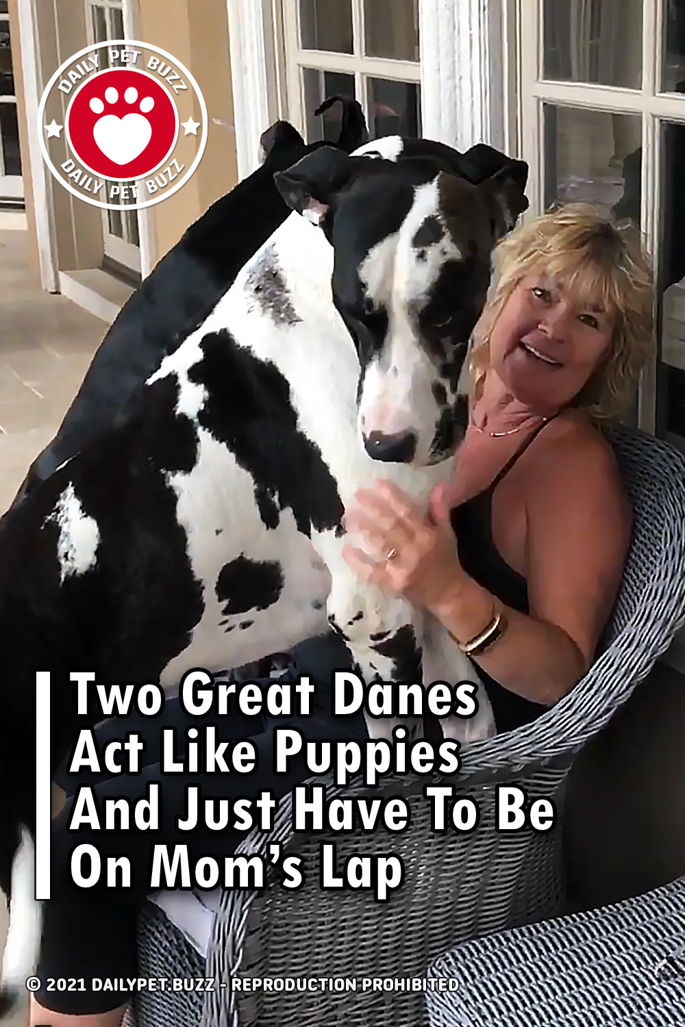 Two Great Danes Act Like Puppies And Just Have To Be On Mom\'s Lap