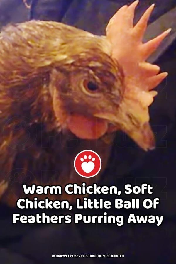 Warm Chicken, Soft Chicken, Little Ball Of Feathers Purring Away