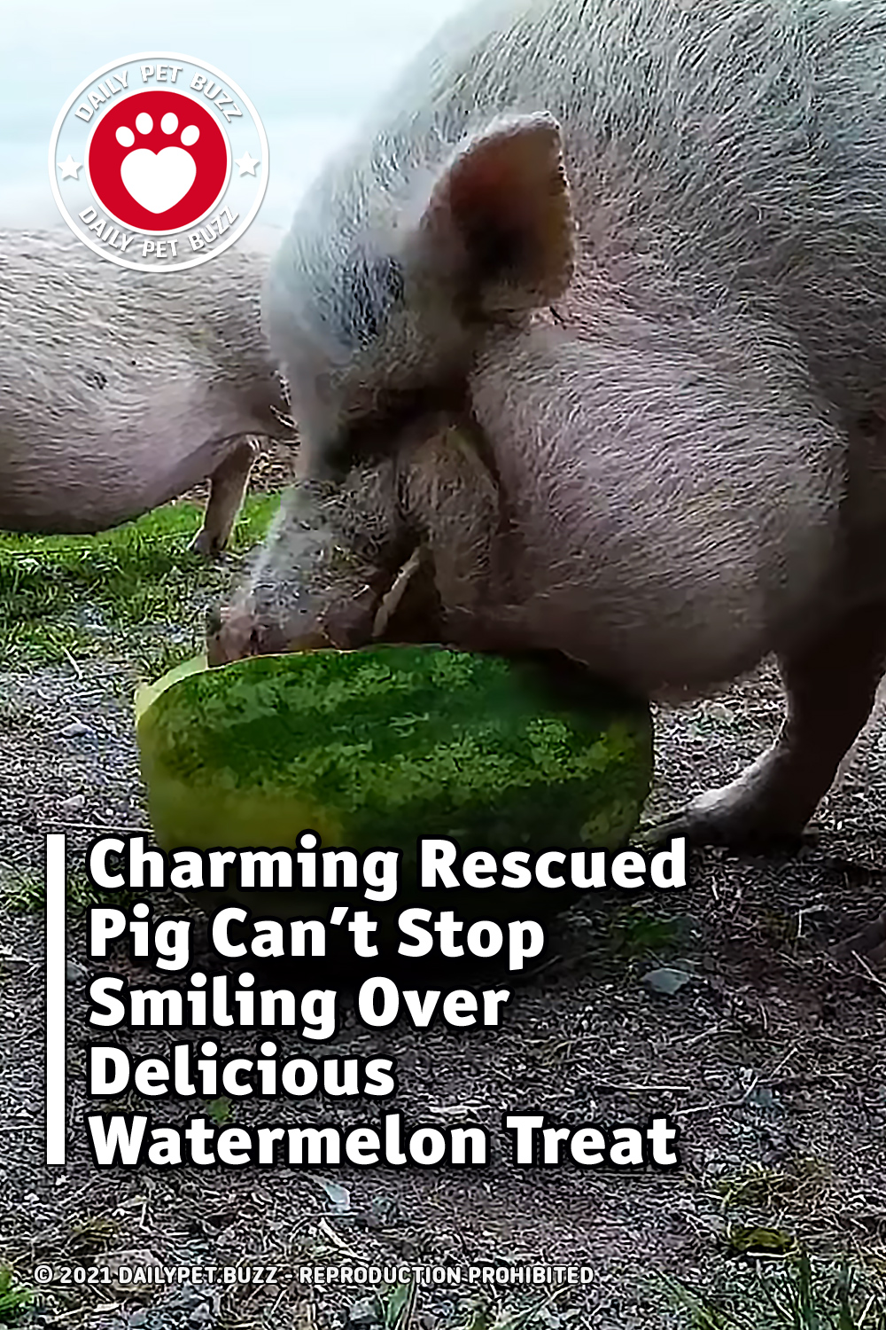 Charming Rescued Pig Can't Stop Smiling Over Delicious Watermelon Treat