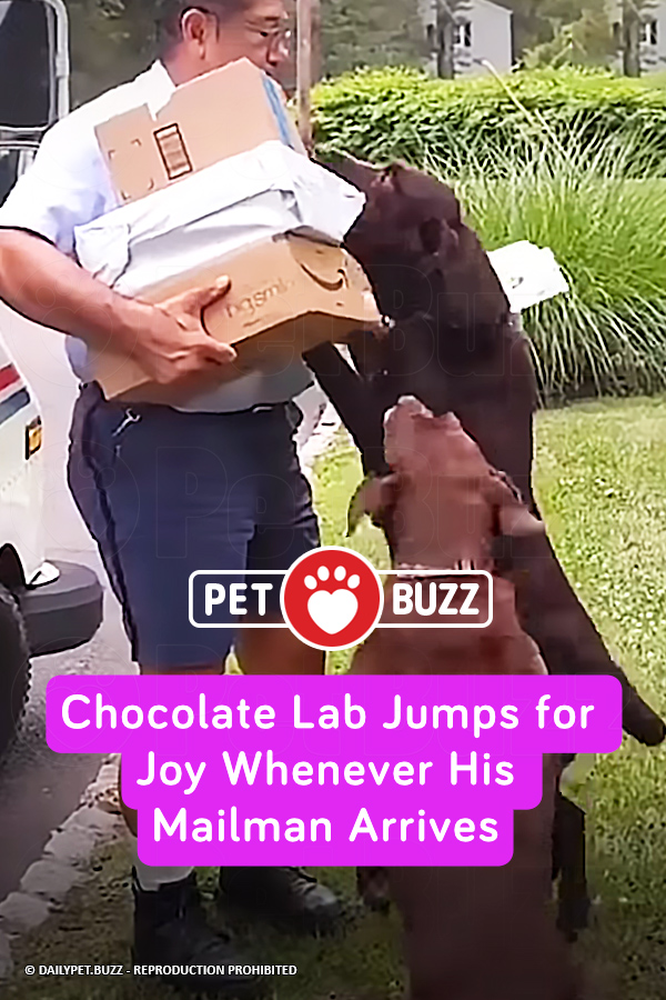 Chocolate Lab Jumps for Joy Whenever His Mailman Arrives