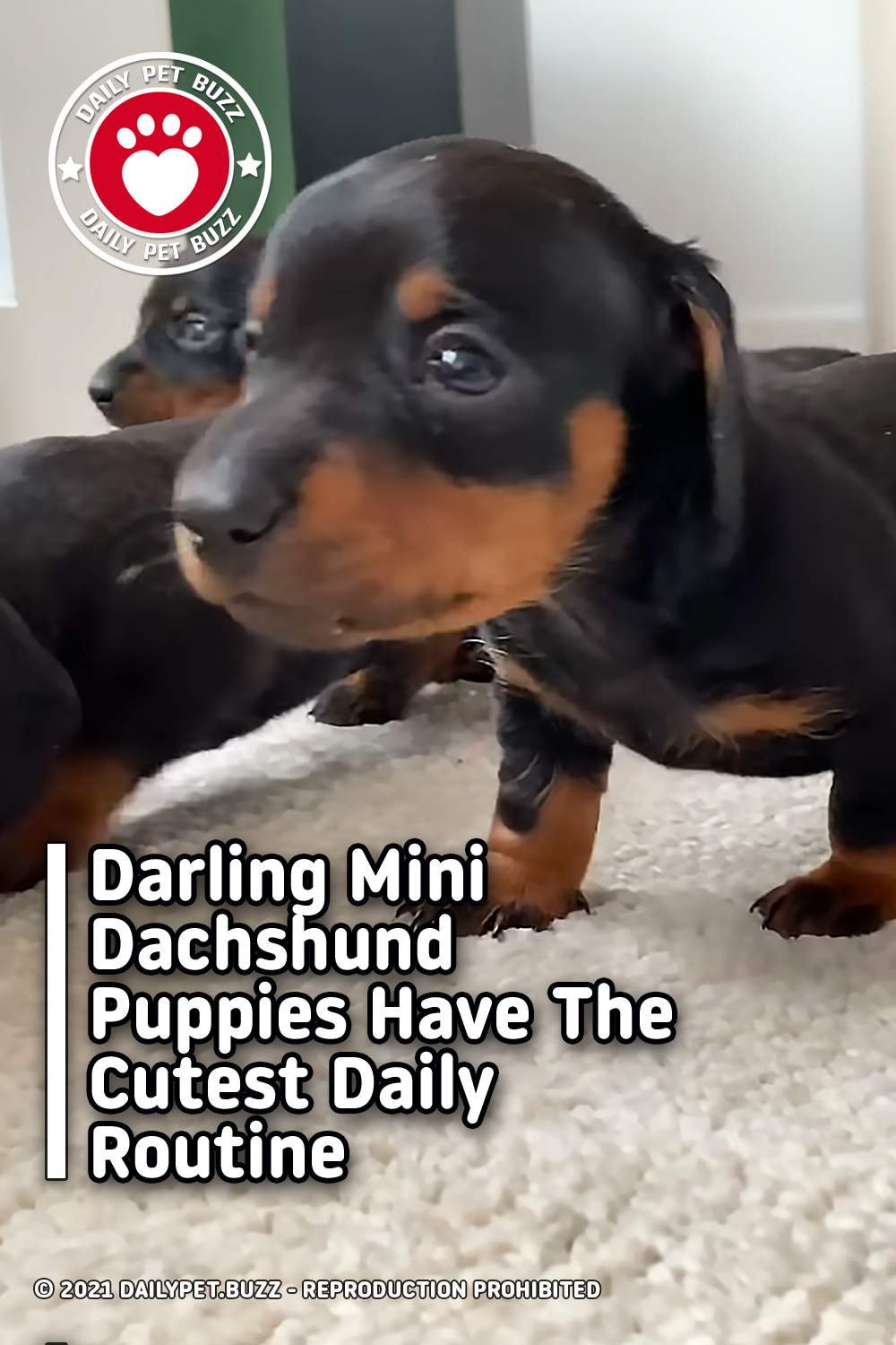 Darling Mini Dachshund Puppies Have The Cutest Daily Routine