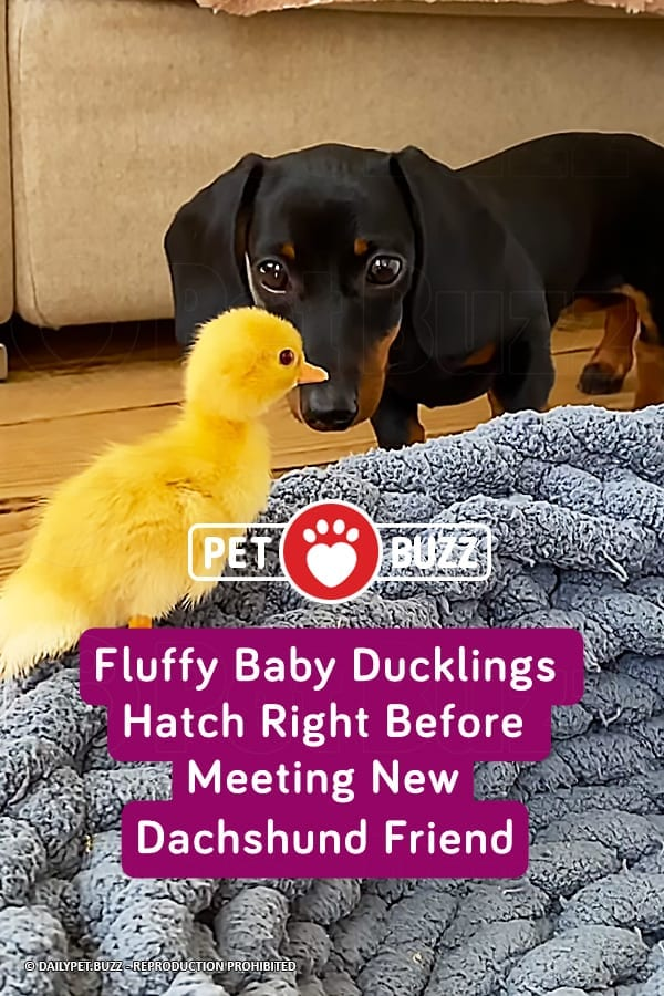 Fluffy Baby Ducklings Hatch Right Before Meeting New Dachshund Friend