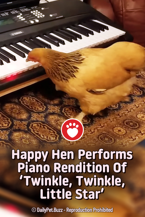 Happy Hen Performs Piano Rendition Of 'Twinkle, Twinkle, Little Star'