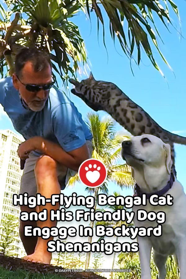 High-Flying Bengal Cat and His Friendly Dog Engage In Backyard Shenanigans