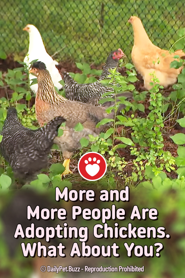 More and More People Are Adopting Chickens. What About You?