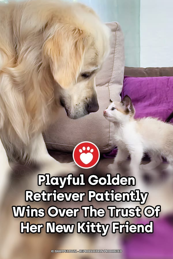 Playful Golden Retriever Patiently Wins Over The Trust Of Her New Kitty Friend