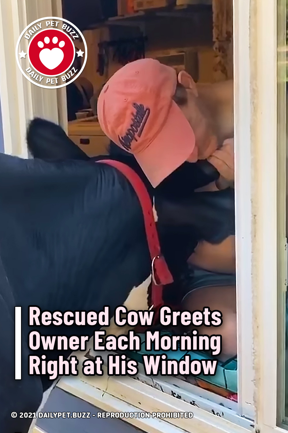 Rescued Cow Greets Owner Each Morning Right at His Window