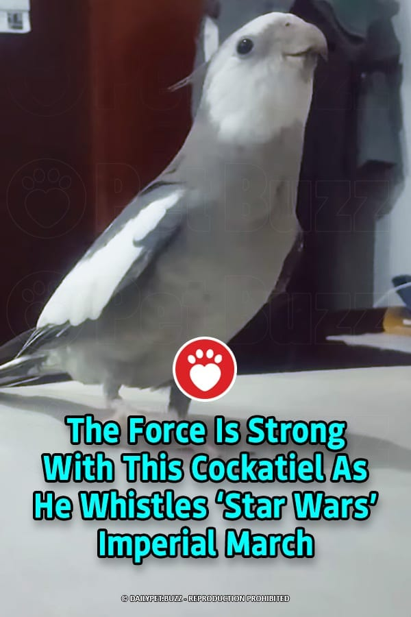 The Force Is Strong With This Cockatiel As He Whistles 'Star Wars' Imperial March