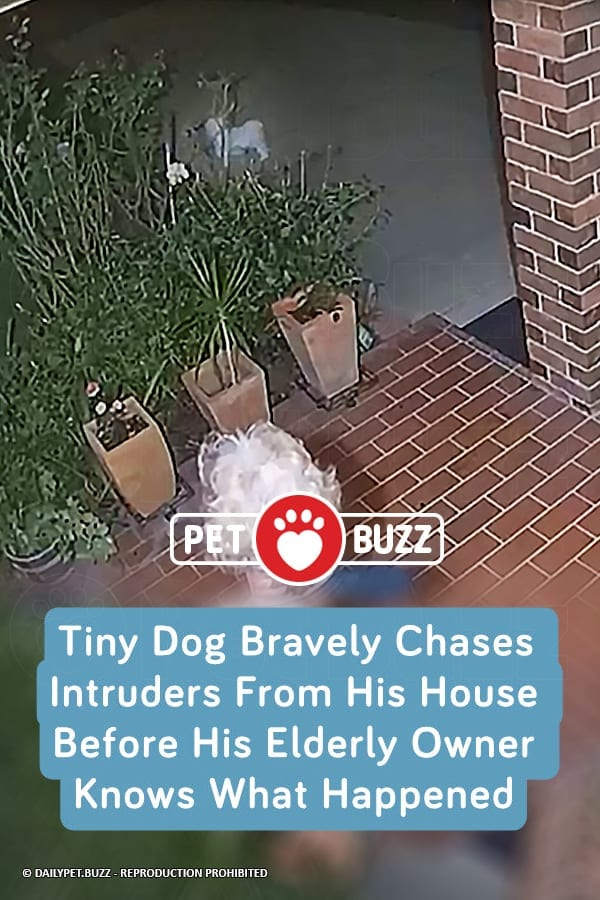 Tiny Dog Bravely Chases Intruders From His House Before His Elderly Owner Knows What Happened
