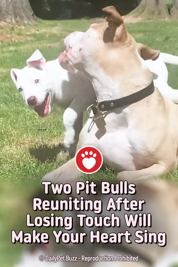 Two Pit Bulls Reuniting After Losing Touch Will Make Your Heart Sing