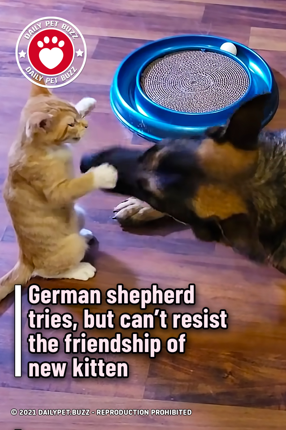 German shepherd tries, but can't resist the friendship of new kitten