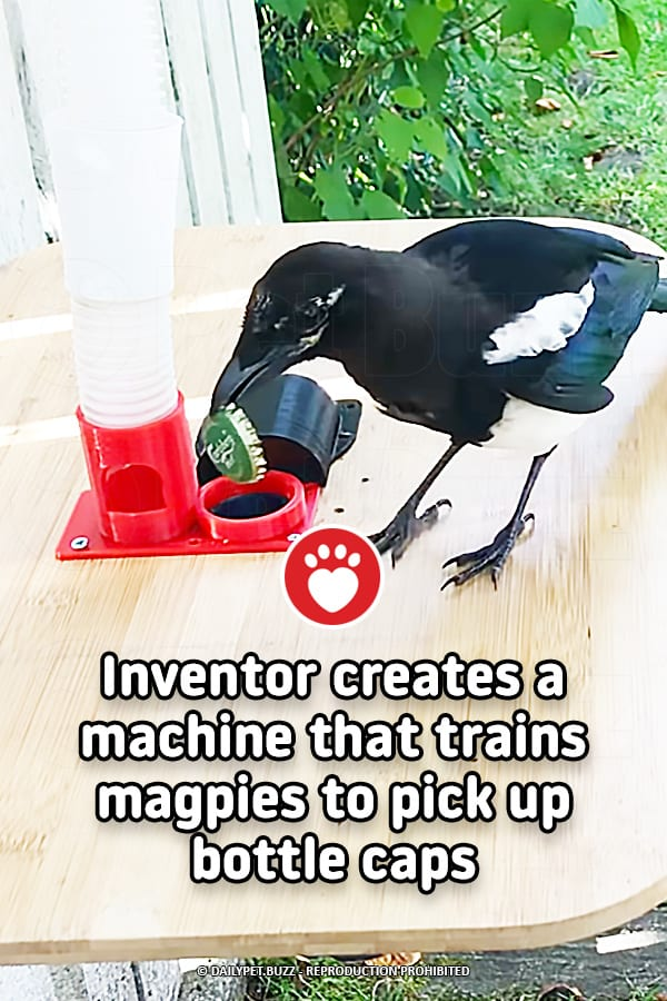 Inventor creates a machine that trains magpies to pick up bottle caps